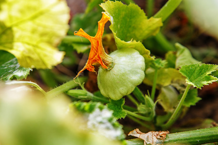 Baby Summer Squash. Patisson plant growing in the garden