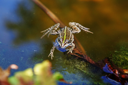 frog jump: Frog in the water