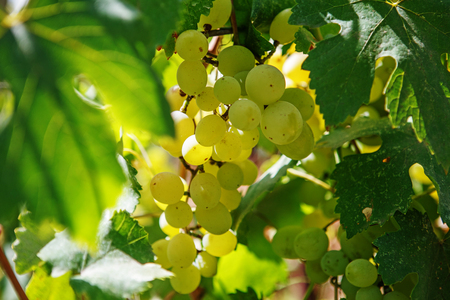 bacchus: Large bunch of white wine grapes hang from a vine. Ripe grapes with green leaves. Wine concept.