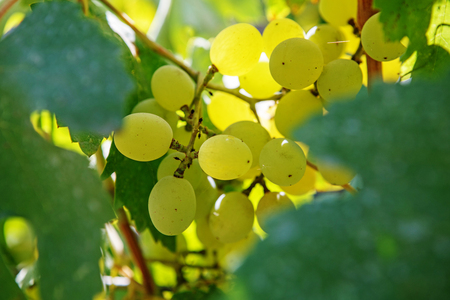 uvas: Large bunch of white wine grapes hang from a vine. Ripe grapes with green leaves. Wine concept.