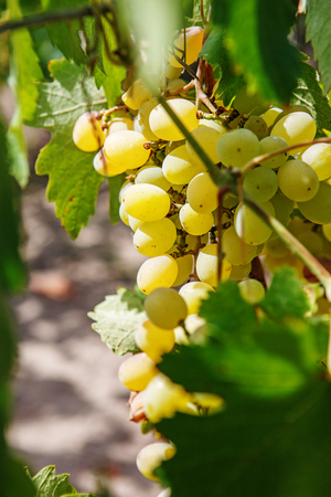 grape: Large bunch of white wine grapes hang from a vine. Ripe grapes with green leaves. Wine concept.