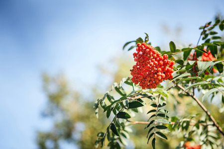 mountain ash: The fruits of mountain ash hanging in clusters on the branches of trees in autumn