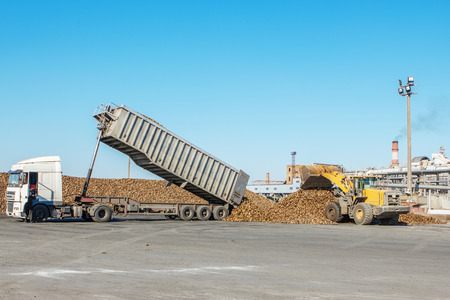 frontend: Front-end loader in action on the loading of sugar beet at a sugar factory. sugar beet harvest - truck waiting in front of off-loaded beet in factory for the production of sugar