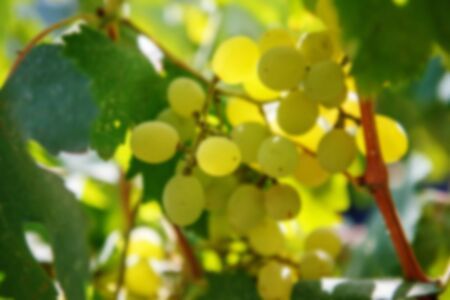 bacchus: Large bunch of white wine grapes hang from a vine. Ripe grapes with green leaves. Wine concept. Blurred