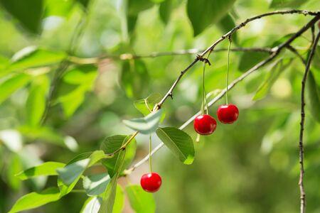 tree farming: Ripening cherries on a tree in the garden on the farm. Ripe red fruit. Organic farming
