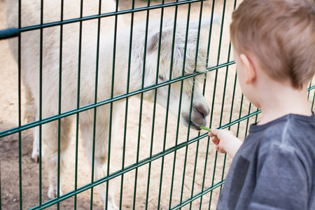 feeding through: Alpaca eating out of the hand of a boy. Little kid feeding big white lama through a cage in zoo. Cute little boy feeding alpaca green beans in farm. Warm summer day. Active leisure with children outdoors.