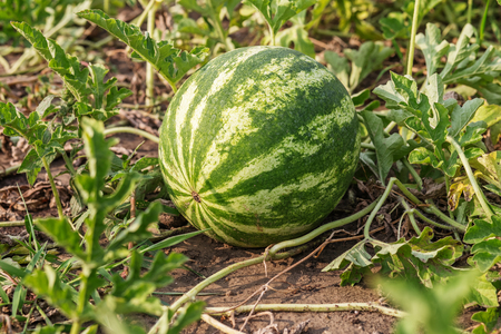 Growing watermelon on the field. Watermelon (Citrullus lanatus) in a vegetable garden Stock Photo