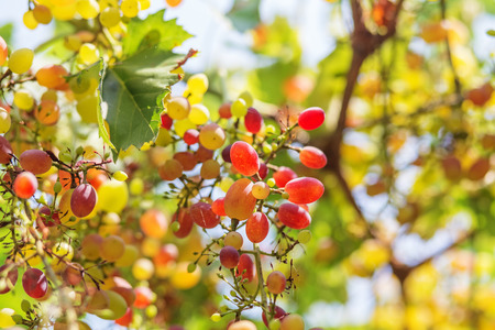 Ruby Seedless Grape. Large bunch of red wine grapes hang from a vine. Ripe grapes with green leaves. Wine concept. Stock Photo
