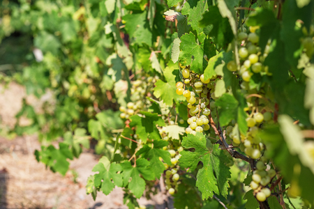 sauvignon blanc: Large bunch of white wine grapes hang from a vine. Ripe grapes with green leaves. Wine concept.