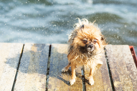 drench: Pomeranian dog shaking off water. Pomeranian shakes water from his fur Stock Photo