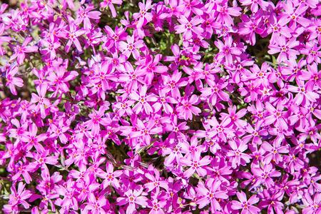 Purple phlox subulata small flowers bloom in spring and summer purple phlox subulata small flowers bloom in spring and summer background of flowers mightylinksfo