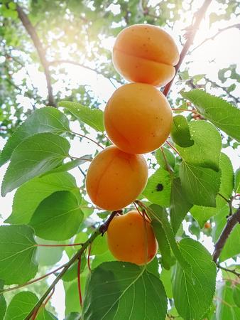 熟した甘いアプリコット フルーツ果樹園でアプリコットの木の枝に成長 写真素材
