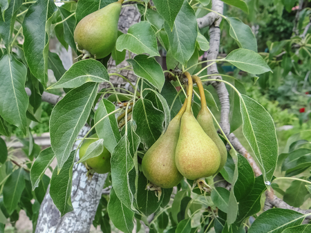 selected: ripening Pear fruits growing on a pear tree branch in orchard