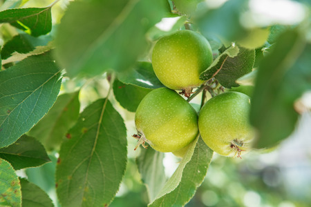 pesticides: Apple fruits growing on a apple tree branch in orchard. Apple ripening