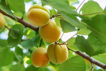 pesticides: Ripe sweet apricot fruits growing on a apricot tree branch in orchard. Apricot ripening