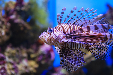 Pterois volitans. Red lionfish (Pterois volitans) aquarium fish. Beautiful and dangerous Lionfish (Pterois miles)