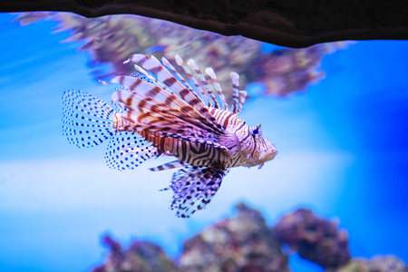 Pterois volitans. Red lionfish (Pterois volitans) aquarium fish. Beautiful and dangerous Lionfish