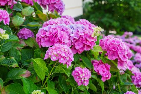 Hortensja to różowe, niebieskie, liliowe, fioletowe, fioletowe, białe kwiaty kwitną wiosną i latem w miejskim ogrodzie. Zdjęcie Seryjne