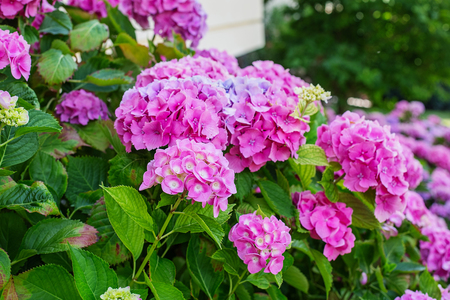 Hydrangea is pink, blue, lilac, violet, purple, white flowers are blooming in spring and summer in town garden. Stock Photo