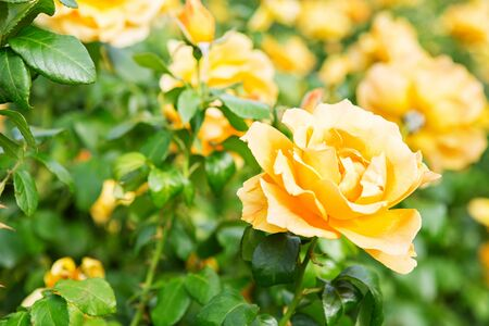 Beautiful bush of yellow roses in a spring garden. Rose garden. Some orange yellow roses in the garden