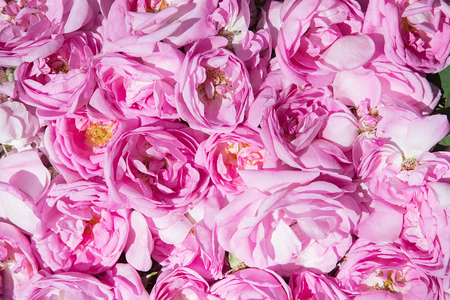 tea rose petals. Rose oil production. Industrial Cultivation of Oil Bearing Rose and Rose