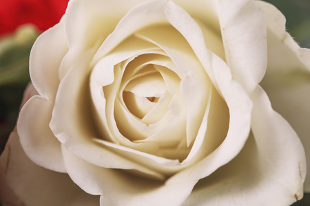Primer plano de rosa blanca fresca