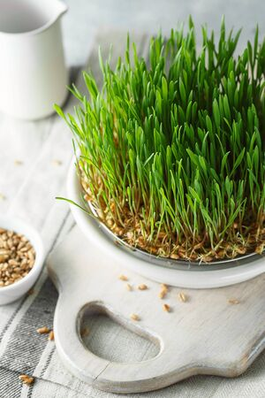 Germination of seeds at home. The concept of veganism and healthy eating. Germinated Wheat Microgreens Zdjęcie Seryjne
