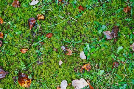 Colorful fall leaves on a background of green moss and grass. Top view. autumn leaves on grass
