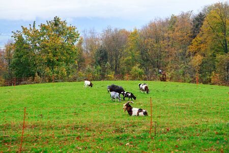 Herd of goats and sheep grazing in the mountain alpine village. A small herd of goats feeding at the autumn day. Animal husbandry, animal breeding, stock raising