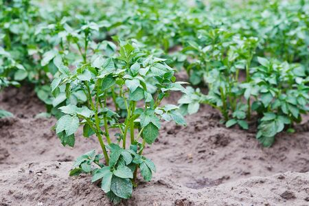 Young potato plant growing on the soil. Potato bush in the garden. Healthy young potato plant in organic garden. Stok Fotoğraf