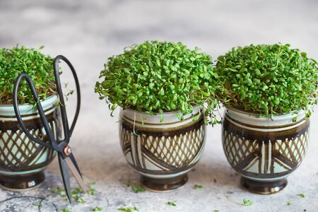 Alfalfa microgreens. Sprouting Microgreens. Seed Germination at home. Vegan and healthy eating concept. Sprouted alfalfa Seeds, Micro greens. Growing sprouts. Green living concept. Organic food.