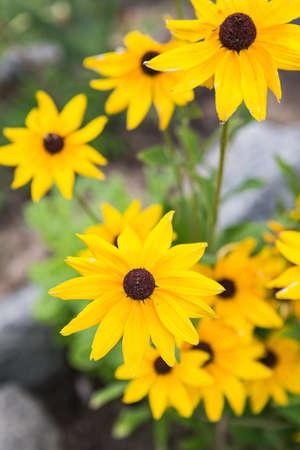 Yellow garden flowers of rudbeckia. Flowers of Rudbeckia fulgida, the orange coneflower or perennial coneflower. Rudbeckia hirta Maya. Black eyed susan