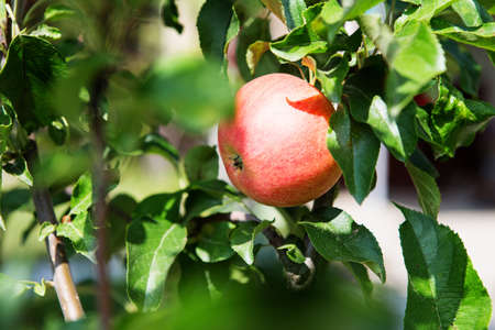 Ripe sweet apple fruits growing on a apple tree branch in orchard. Green living concept. Organic food.