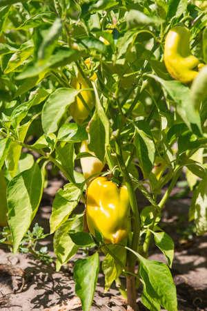 Yellow bell pepper in the garden. Sweet pepper in the vegetable garden. Organic pepper farm