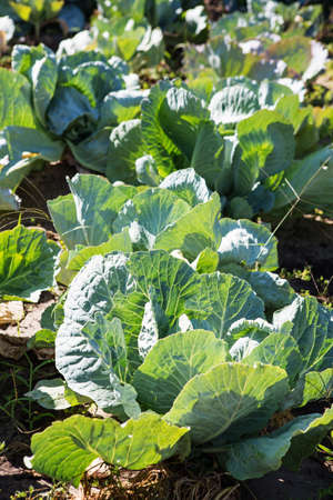 White cabbage in the garden. Close up on Fresh cabbage in harvest field. Cabbage are growing in garden. Organic vegetable on the farm. Agriculture concept.