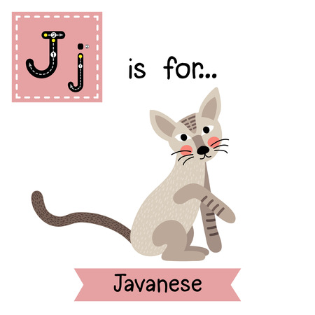felidae: J letter tracing. Sitting Javanese cat. Cute children zoo alphabet flash card. Funny cartoon animal. Kids abc education. Learning English vocabulary. Vector illustration. Illustration