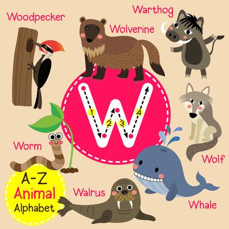 wolverine: W letter tracing. Walrus. Warthog. Whale. Wolf. Wolverine. Worm. Woodpecker. Cute children zoo alphabet flash card. Funny cartoon animal. Kids abc education. Learning English vocabulary. illustration.
