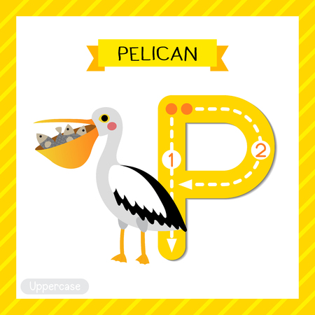 Letter P uppercase cute children colorful zoo and animals ABC alphabet tracing flashcard of Pelican bird with fish in mouth for kids learning English vocabulary and handwriting vector illustration.