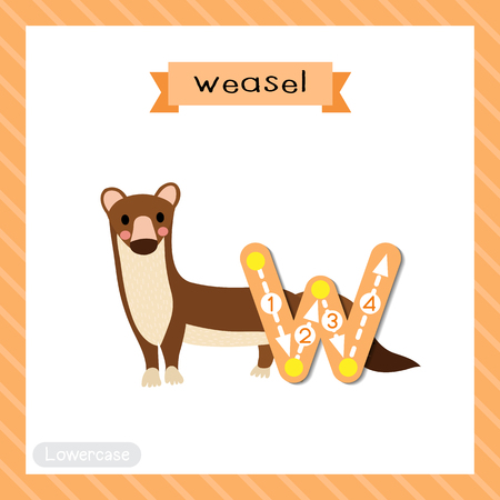 Letter W lowercase cute children colorful zoo and animals ABC alphabet tracing flashcard of Weasel for kids learning English vocabulary and handwriting vector illustration.