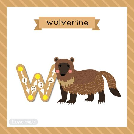 Letter W lowercase cute children colorful zoo and animals ABC alphabet tracing flashcard of Wolverine. for kids learning English vocabulary and handwriting vector illustration.