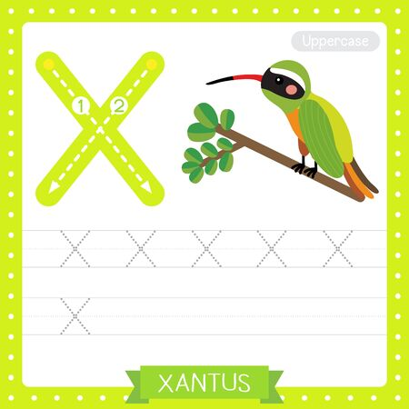 Letter X uppercase cute children colorful zoo and animals ABC alphabet tracing practice worksheet of Xantus Hummingbird perching on branch for kids learning English vocabulary and handwriting vector illustration.