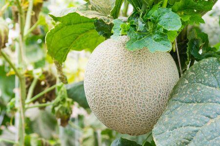 melon fruit: Melon fruit in greenhouse