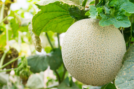 Melon fruit in greenhouse