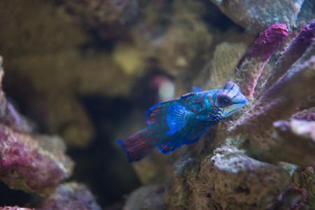 Mandarinfish in marine aquarium