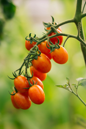 Red organic tomatoes  in garden