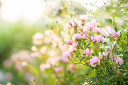 Pink roses garden with blur background