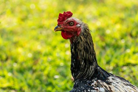 Rooster seeking food in the garden