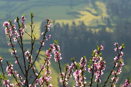 Blooming pink Cherry blossom with blurred background of rapeseed flower field at Wanfenglin