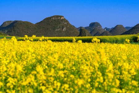 Yellow rapeseed flowers Field with blue sky at Luoping County, China Standard-Bild
