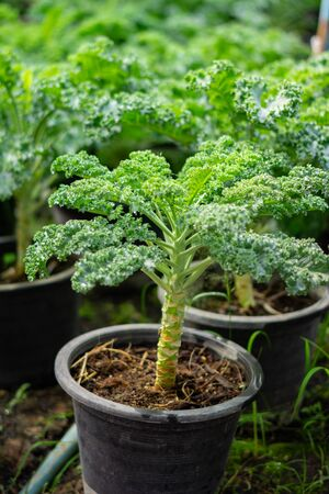 Organic broccoli in vegetable garden